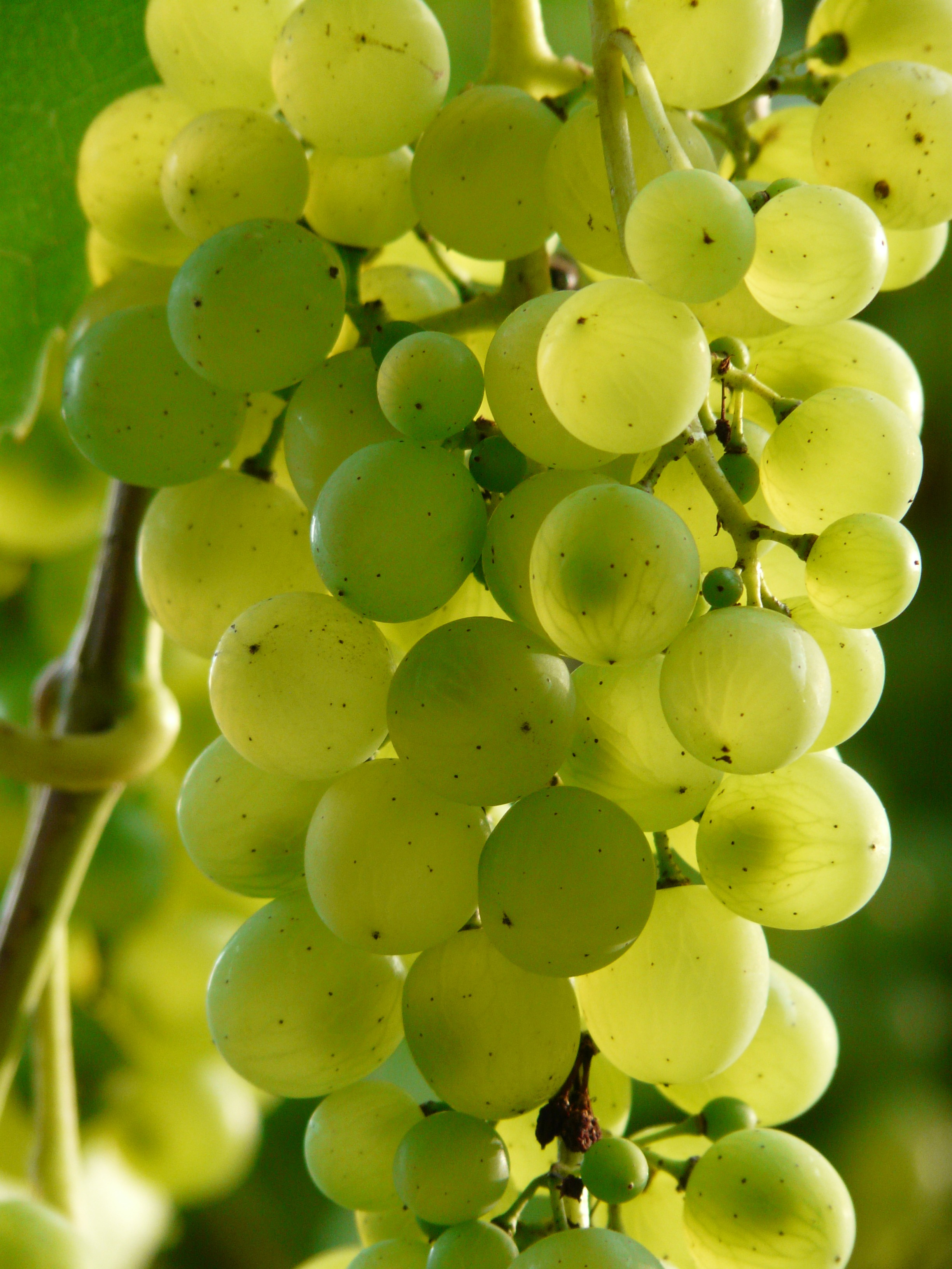 grapes_wine_plant